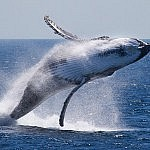 WHALE WATCHING PORT STEPHENS